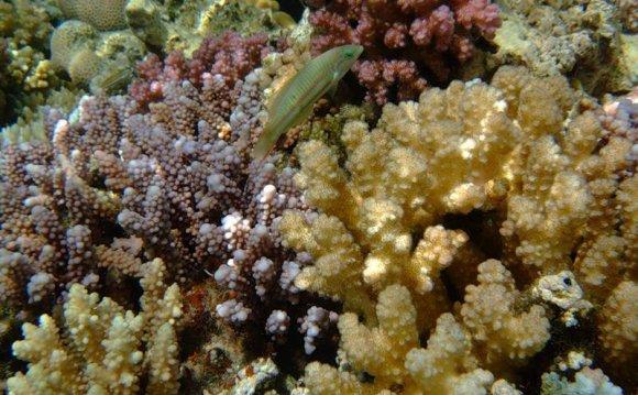 Коралловый риф в Красном море